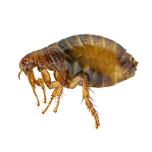 Fleas feed on nearly all warm-blooded animals, including people.
